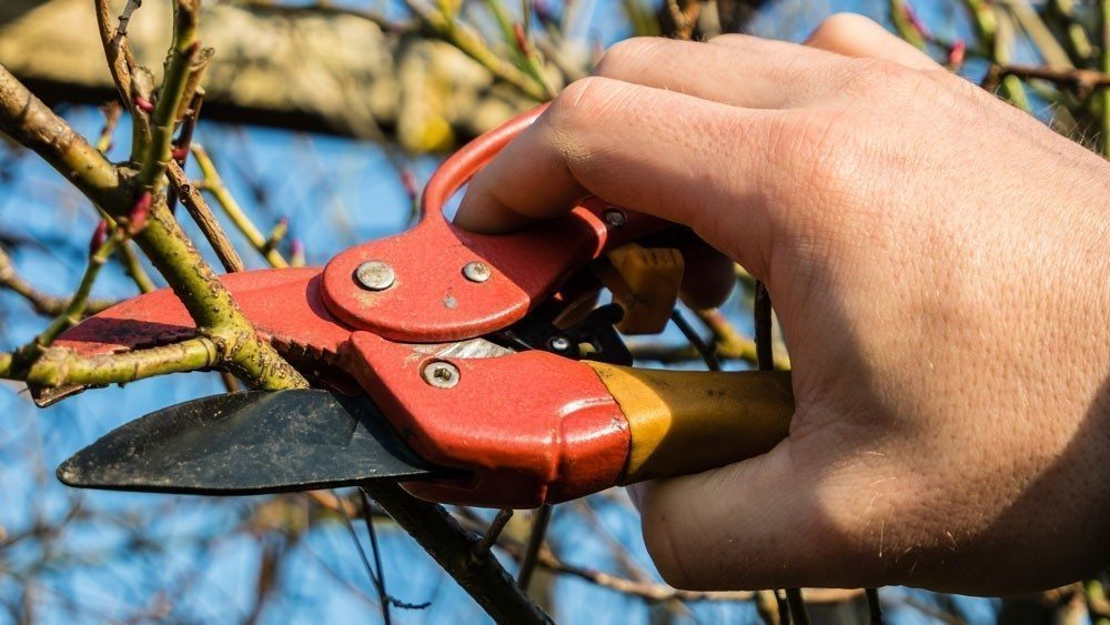 shrub-ornamental-tree-prunin